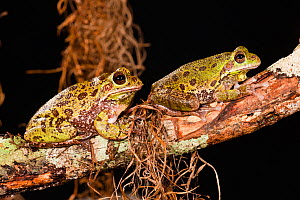 Barking Tree frogs (Hyla gratiosa) two resting on branch, Florida, USA  -  Visuals Unlimited