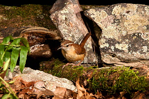 Carolina Wren (Thryothorus ludovicianus), Pennsylvania, USA  -  Visuals Unlimited