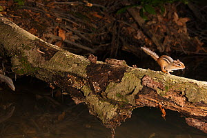 Eastern American Chipmunk (Tamias striatus) runing along branch, Pennsylvania, USA.  -  Visuals Unlimited