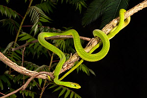 Eastern Green Mamba (Dendroaspis angusticeps), captive  -  Visuals Unlimited
