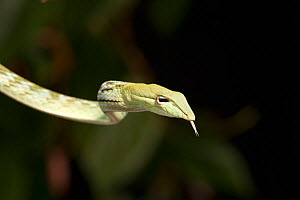 Malaysian long nosed tree snake (Ahaetulla nasuta) captive  -  Visuals Unlimited