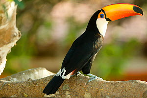 Toco Toucan (Ramphastos toco), Pantanal, Brazil  -  Visuals Unlimited