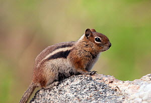 Golden mantled Ground Squirrel (Spermophilus lateralis) Mount Evans, Colorado, USA  -  Visuals Unlimited