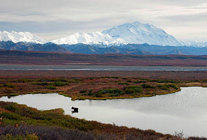 Moose (Alces alces gigas) in pond near Mount McKinley, Denali National Park, Alaska, USA - Visuals Unlimited