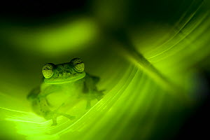Emerald Glass Frog (Centrolenella prosoblepon), sitting within leaf tunnel, Costa Rica. - Visuals Unlimited