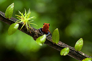 Strawberry Poison Frog (Oophaga pumilio), Costa Rica. These frogs have neurotoxins in their skin and bright colours that warn potential predators.  -  Visuals Unlimited