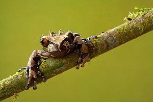 Crowned Tree Frog (Anotheca spinosa), Costa Rica  -  Visuals Unlimited