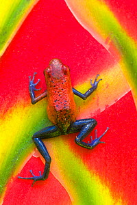 Strawberry Poison Arrow Frog (Oophaga pumilio) rear view climbing up plant, Costa Rica. These frogs have neurotoxins that are exuded through the skin. The bright colours are a warning to potential pre... - Visuals Unlimited