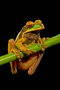 Masked Tree Frog (Smilisca phaeota) portrait at night, Costa Rica  -  Visuals Unlimited