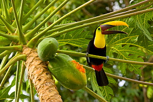 Chestnut mandibled Toucan (Ramphastos swainsonii) after feeding on papaya fruit, Costa Rica  -  Visuals Unlimited