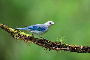 Blue-gray Tanager (Thraupis episcopus) on cloud forest branch, Costa Rica.  -  Visuals Unlimited