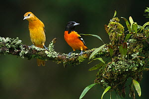 Northern / Baltimore Orioles (Icterus galbula) male and female pair on branch, Costa Rica  -  Visuals Unlimited