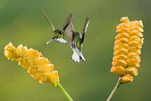 Coppery headed Emerald Hummingbirds (Elvira cupreiceps) fighting at flowers of a Rattlesnake Plant (Calathea crotalifera), Costa Rica  -  Visuals Unlimited