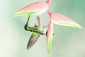 Green crowned Brilliant (Heliodoxa jacula) feeding at Heliconia flower, Costa Rica  -  Visuals Unlimited