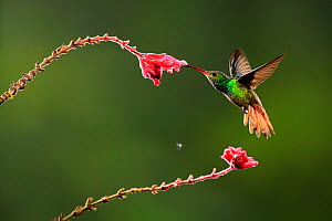 Rufous tailed Hummingbird (Amazilia tzacatl) male feeding at a Fuchsia flower, Costa Rica - Visuals Unlimited