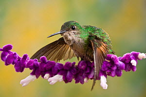 Stripe tailed Hummingbird (Eupherusa eximia) on a Salvia flower, Costa Rica  -  Visuals Unlimited