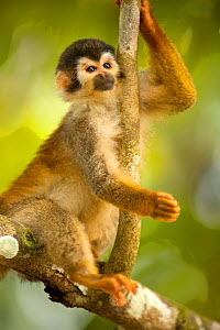 Red Backed Squirrel Monkey (Saimiri oerstedii citrinellus), Costa Rica  -  Visuals Unlimited