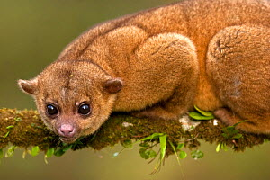 Kinkajou (Potos flavus), Costa Rica - Visuals Unlimited
