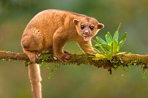 Kinkajou (Potos flavus) vocalising, Costa Rica. - Visuals Unlimited