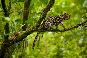 Margay (Leopardus wiedii) up in tree, Costa Rica.  -  Visuals Unlimited