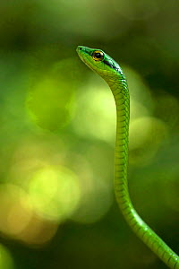 Satiny Parrot Snake (Leptophis depressirostris), Costa Rica.  -  Visuals Unlimited