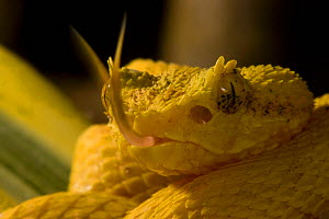Eyelash PitViper (Bothriechis schlegelii) close up of yellow morph with tongue flicking, Costa Rica.  -  Visuals Unlimited