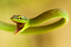 Satiny Parrot Snake (Leptophis depressirostris) mouth open in defence, Costa Rica.  -  Visuals Unlimited