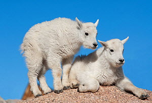 Mountain Goat (Oreamnos americanus) two kids together, Mount Evans, Colorado, USA.  -  Visuals Unlimited