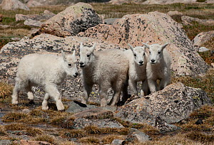 Mountain Goat (Oreamnos americanus) four kids together, Mount Evans, Colorado, USA.  -  Visuals Unlimited