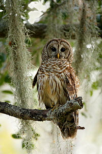 Barred Owl (Strix varia) in tree, Lake Cypress, Florida, USA. - Visuals Unlimited