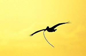 Brown Pelican (Pelecanus occidentalis) silhouetted in flight at dusk with nesting material, Alafia Banks, Tampa Bay, Florida, USA.  -  Visuals Unlimited