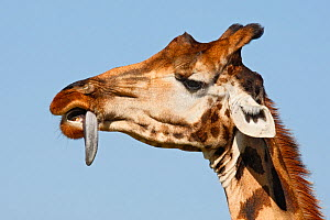 Rothchild's Giraffe (Giraffa camelopardalis rothschildi) trying to remove thorn from tongue, Kenya, East Africa. - Visuals Unlimited