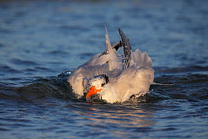 Royal Tern (Sterna maxima) bathing head in water, Florida, USA.  -  Visuals Unlimited