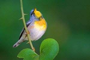 Northern Parula (Parula americana) singing, Dauphin Island, Alabama, USA.  -  Visuals  Unlimited