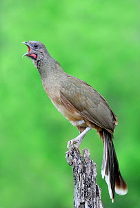 Plain Chachalaca (Ortalis vetula) vocalising, Texas, USA  -  Visuals Unlimited