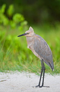 Reddish Egret (Egretta rufescens) juvenile portrait, Tampa Bay, Florida, USA - Visuals Unlimited