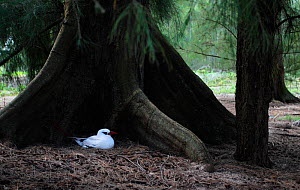 Red tailed Tropicbird (Phaethon rubricauda rothschildi) adult sitting on nest, Midway Atoll, Pacific Ocean - Visuals Unlimited