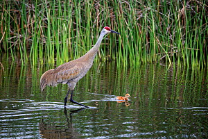 Sandhill Crane (Grus canadensis) adult with swimming chick, Florida, USA.  -  Visuals Unlimited