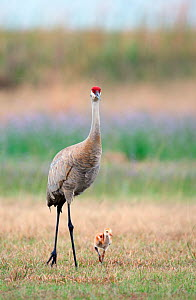 Sandhill Crane (Grus canadensis) mother with tiny chick, Florida, USA  -  Visuals Unlimited