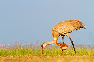Sandhill Crane (Grus canadensis) adult feeding with small chick, Florida, USA  -  Visuals Unlimited