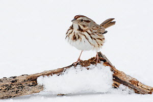 Song Sparrow (Melospiza melodia) on log in snow, New York, USA  -  Visuals Unlimited