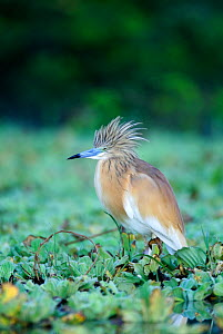 Squacco Heron (Ardeola ralloides) with crest feathers raised, in wetlands, Kenya  -  Visuals Unlimited