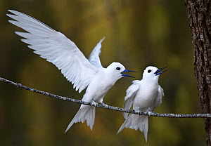 White Tern (Gygis alba rothschildi) two interacting on branch, Midway Atoll - Visuals Unlimited