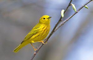 Yellow Warbler male (Dendroica petechia), Ontario, Canada  -  Visuals  Unlimited