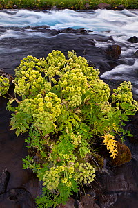 Cow Parsnip (Heracleum) along a mountain stream, Iceland  -  Visuals Unlimited