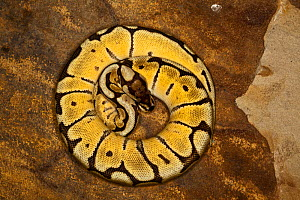 Ball Python (Python regius) yellow colour morph, coiled tightly, captive - Visuals Unlimited