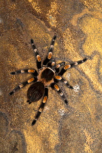 Mexican Red-Knee Tarantula (Brachypelma smithi), Mexico.  -  Visuals Unlimited