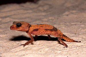 Banded Knob Tail Gecko (Nephrurus wheeleri cinctus), Australia. - Visuals Unlimited