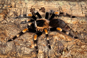 Mexican Red Knee Tarantula (Brachypelma smithi), Mexico  -  Visuals Unlimited