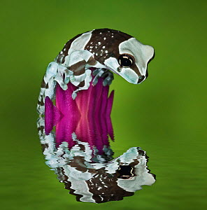 Milk Frog (Trachycephalus resinifictrix) looking at its reflection in water, captive - Visuals Unlimited